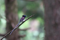 今年のサンコウチョウ 前編 - 瑞穂の国の野鳥たち