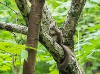すっかり夏毛になったエゾリス君~台風の木で遊ぶ~ - 十勝・中札内村「森の中の日記」~café&宿カンタベリー~