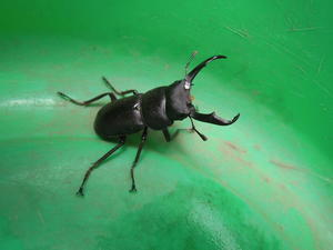 クワガタ虫(鍬形虫) -