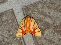 サラサリンガ・キマダラコヤガ - 一寸の虫にも五分の魂