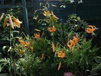 タイガーリリーも咲き急いで - チルターンの風に吹かれてーイギリスの小さな村の小さな庭からー