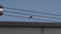 ツミ - (鳥撮)ハタ坊:PENTAX k-3、k-5で撮った写真を載せていきますので、ヨロシクですm(_ _)m