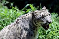 木陰で涼む「アサヒ」 - 動物園放浪記