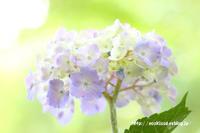 《花》 大宮第二公園の紫陽花 - 100-400ISの部屋