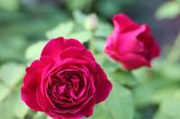 夏でも美しいムンステッドウッド - my small garden~sugar plum~