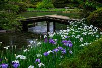 花盛りの梅宮大社・花菖蒲の頃 - 花景色-K.W.C. PhotoBlog