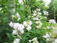 ザボン草 - 浅間高原・北軽井沢 ペンション・ローエングリンの高原日記