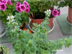 ベランダの花(オレガノの花ゼラニュウム) -