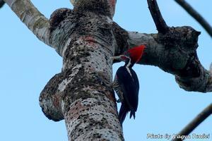 ベリーズ動物園の Lineeated Woodpecker (ラインイーテッドウッドペッカー) - とことん写真
