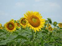『羽島市いちのえだ田園フラワーフェスタの向日葵(ヒマワリ)』 - 自然風の自然風だより