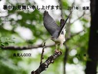 暑中お見舞い申し上げます。・・・ツミ。 - 鳥見んGOO!(とりみんぐー!)野鳥との出逢い