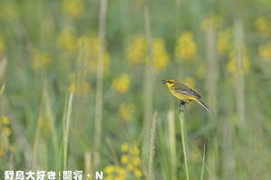 黄色の花を背景に - 野鳥大好き!闘将・N