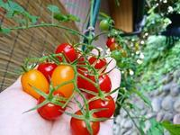 トマト - NATURALLY