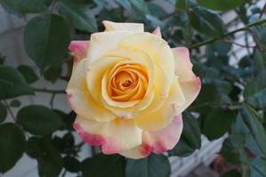 今年のバラ、二番花の頃 -