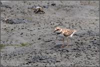 東京港野鳥公園-その②・チドリの幼鳥など - ココカメラ【であいの・き】
