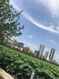 極楽浄土の蓮の花@上野公園不忍池 - おはけねこ 外国探訪