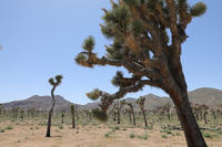 Joshua Tree National Park - 南加生活写録 --- Life In Fillmore ---