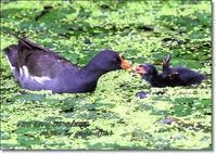 バンの巣立ち雛を観察 - THE LIFE OF BIRDS --- 野鳥つれづれ記