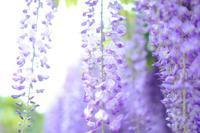 藤の花 - Pastel color