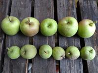 りんごの袋掛け2回目 〜まいりんご〜 - 日々ニコニコ