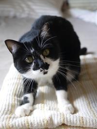 猫のお留守番 クルルちゃん編。 - ゆきねこ猫家族