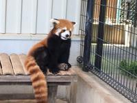 「レッサーパンダが観たい2!(市川市動植物園)」 - 株式会社エイコー 採用担当者のひとりごと