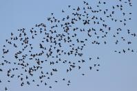 コムクドリ など - 野山の住認たちⅡ