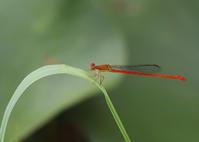 ベニイトトンボ - 公園昆虫記