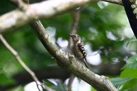 葉の間を探して - うちのまわりの自然新聞