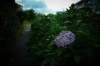 伏見 中書島界隈   6/21 紫陽花 - 写真部