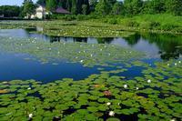 睡蓮(いもり池) - くろちゃんの写真