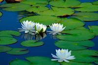 睡蓮2(いもり池) - くろちゃんの写真
