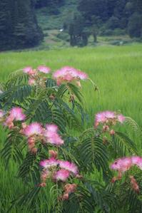 合歓(ネム)の花 - 松之山の四季2