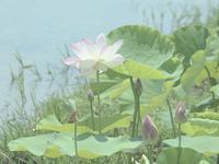 『羽島市の大賀ハス(カメラがカメラの意思で撮った写真~)』 - 自然風の自然風だより