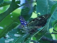 国蝶のオオムラサキを発見! 生態系被害防止外来種のアカボシゴマダラも 加曾利貝塚公園 - 花と葉っぱ