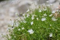 木曽駒の花たち - Ryu Aida's Photo