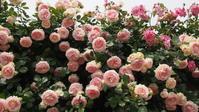 薔薇の季節に思いを馳せて - 季節の風を追いかけて