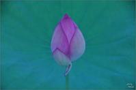 橿原市 新月(7/23日)の蓮 - ぶらり記録(写真) 奈良・大阪・・・