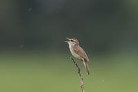 田んぼ~遊水地への探鳥 - 私の鳥撮り散歩