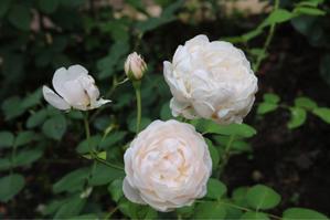 カタバミ畑😭 - kekukoの薔薇の庭