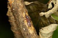 クモノスモンサビカミキリ - Insect walk