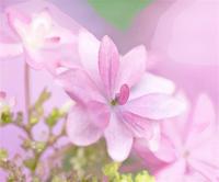 能護寺の紫陽花 20 - 光 塗人 の デジタル フォト グラフィック アート (DIGITAL PHOTOGRAPHIC ARTWORKS)