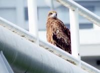 トビの親子、浅川 - 西多摩探鳥散歩