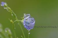 亜麻の花 - イチガンの花道