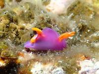 #492 ムラサキウミコチョウ - ランゲルハンス島の海