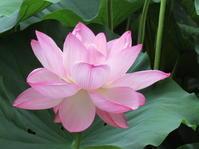 涼しげな蓮の花 - 森で深呼吸