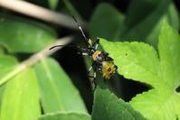 ■ カメムシ幼虫 3種   17.7.24   (キバラヘリカメムシ、ホシハラビロヘリカメムシ、ハサミツノカメムシ?) - 舞岡公園の自然2