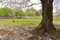 桜のころ - お花びより