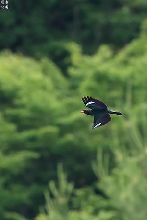 ブッポウソウ飛び去る - 野鳥公園