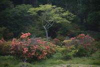 群馬 赤城白樺牧場のレンゲツツジ その2 - 日本あちこち撮り歩記